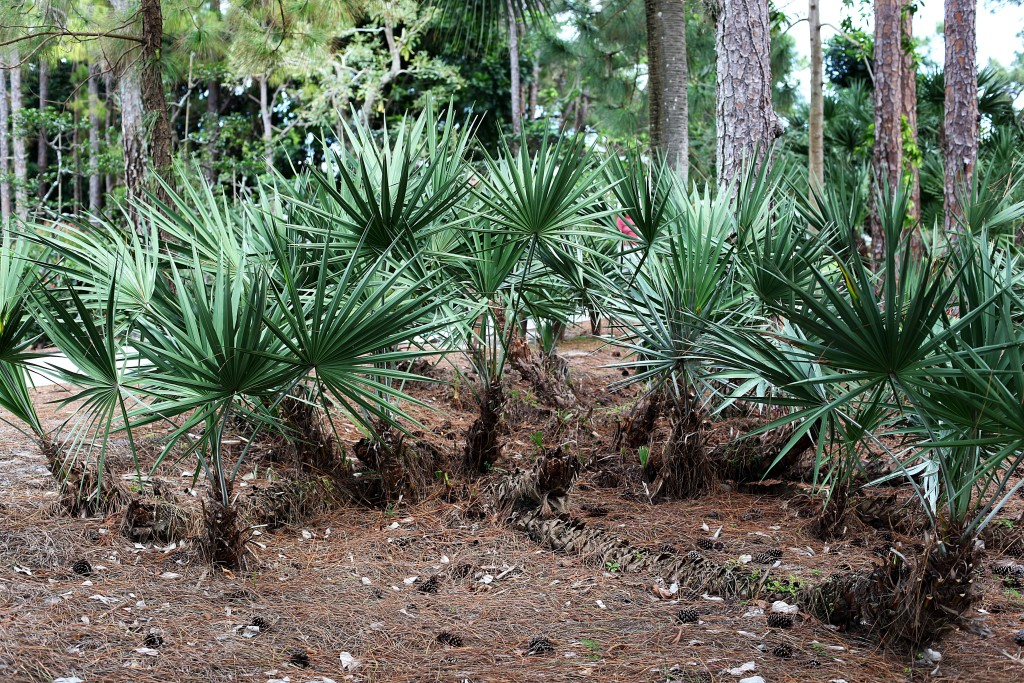 morikami-palms