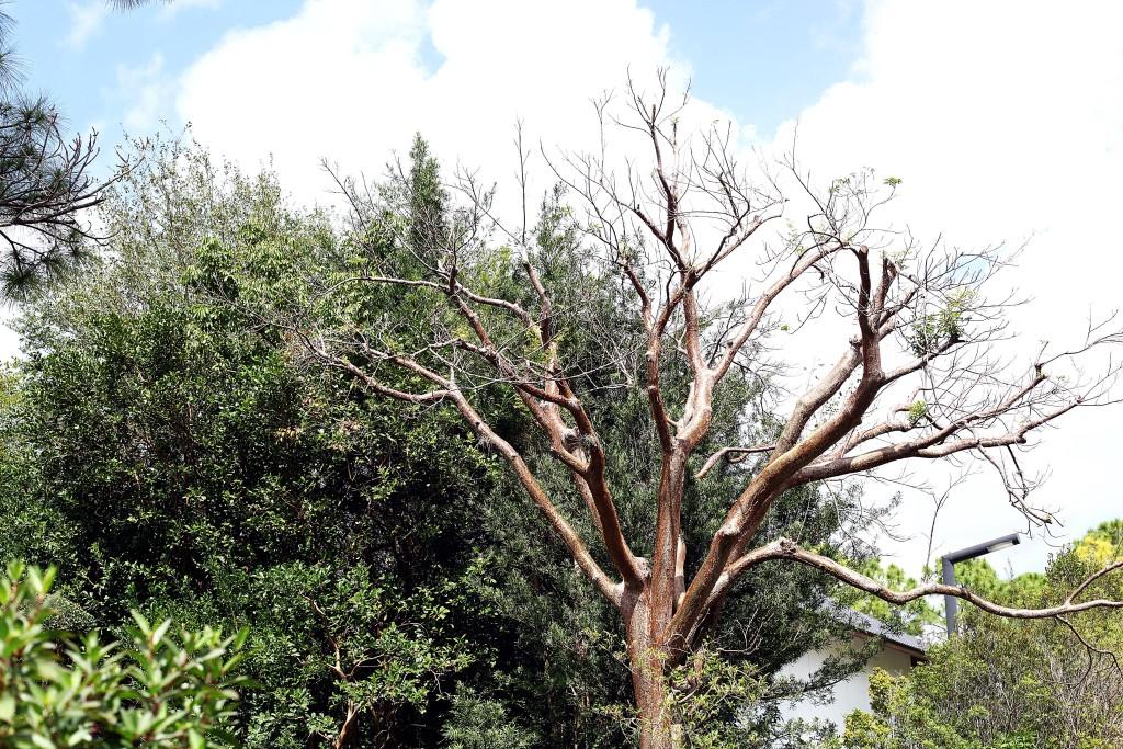 morisami-brown-tree