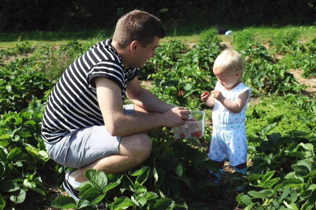 zbieranie truskawek